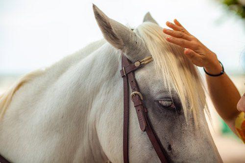 closeup of hand petting head of white horse - equine